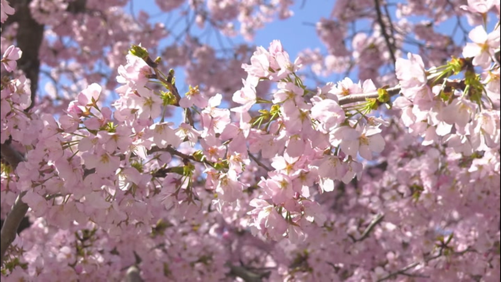 Cold Weather At The National Cherry Blossom Festival 11alive Com