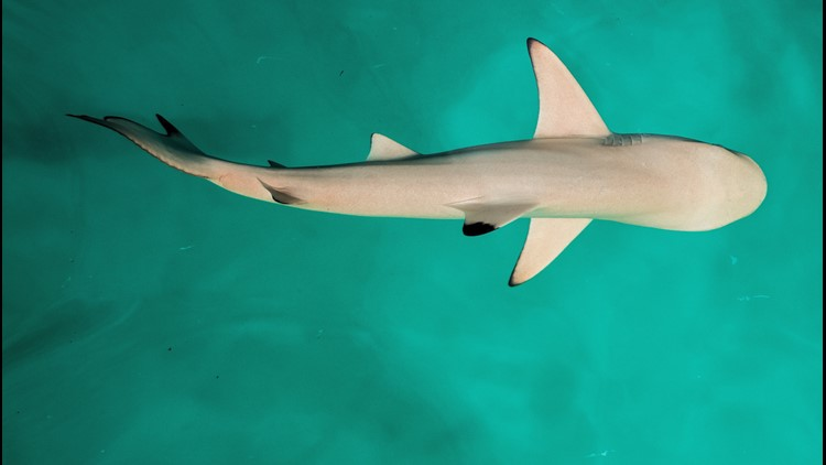 Sharks Use Earth's Magnetic Fields like a GPS