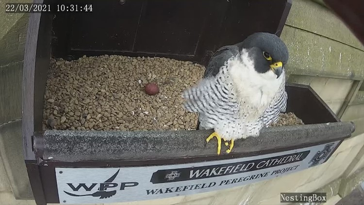 Peregrine Falcons Nesting in Cathedral Become Livestream Sweethearts as Thousands Tune In!