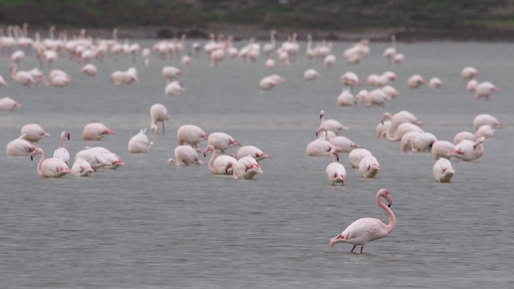 Flock of Flamingos! Cyprus Lake Visited by Thousands of Flamingos