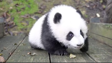 Watch as This Little Panda Cub Learns How to Climb!