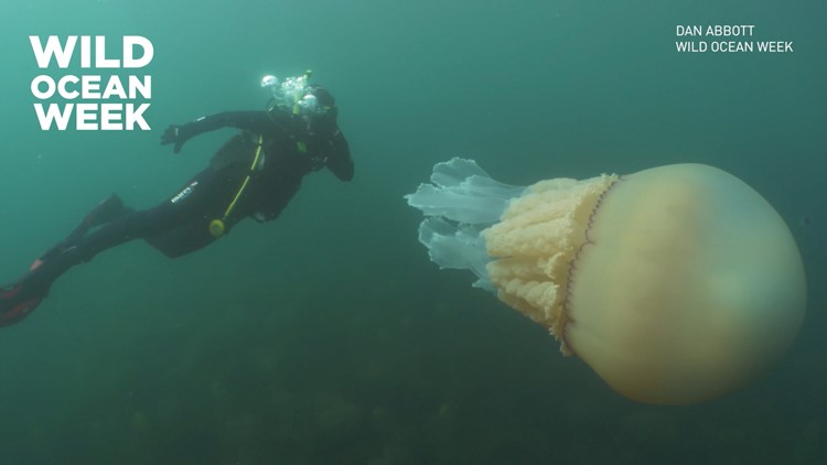 Divers spot giant jellyfish that's as big as a human