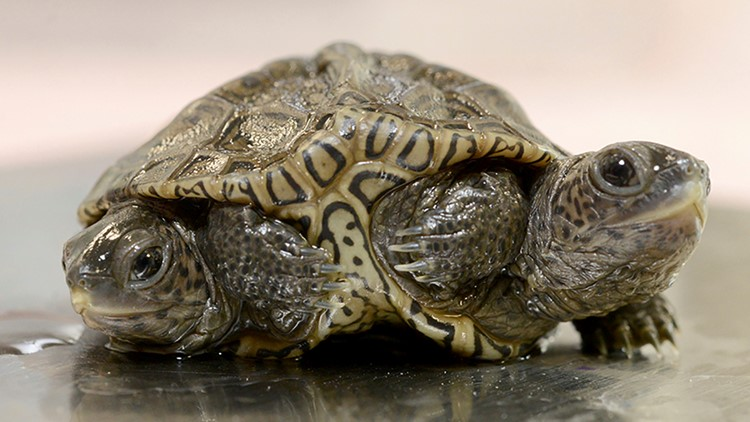 This 2-headed turtle is named after the stars of a popular sitcom