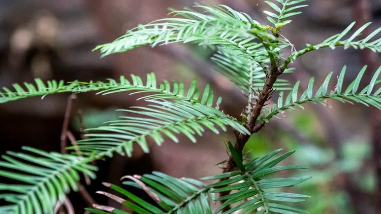 Australia Dinosaur Trees close up AP