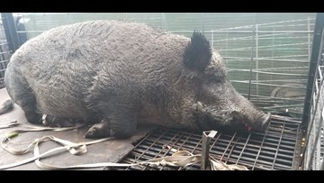'Massive' 400-pound hog captured in Florida near school bus stop