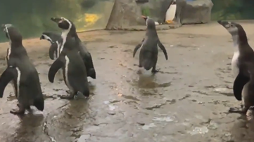 This video of penguins roaming around a closed zoo is the cutest thing you'll see today