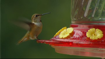 10 hummingbird facts from a man who is studying them for a living