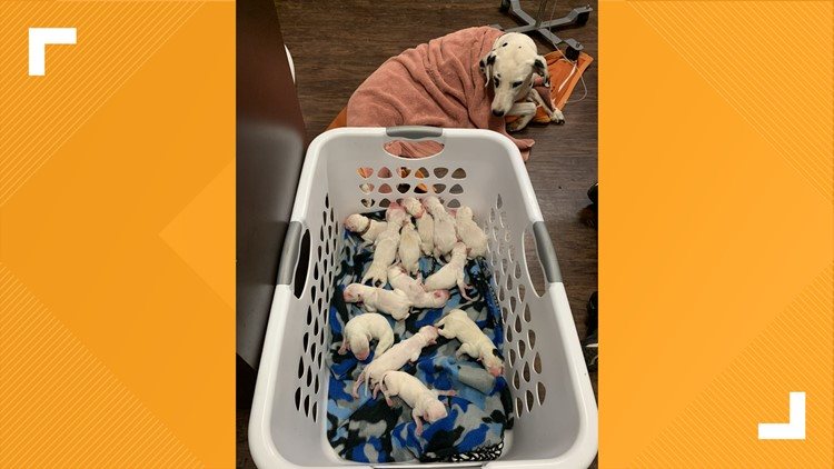 'There were puppies everywhere' | Dalmatian gives birth to 16 puppies
