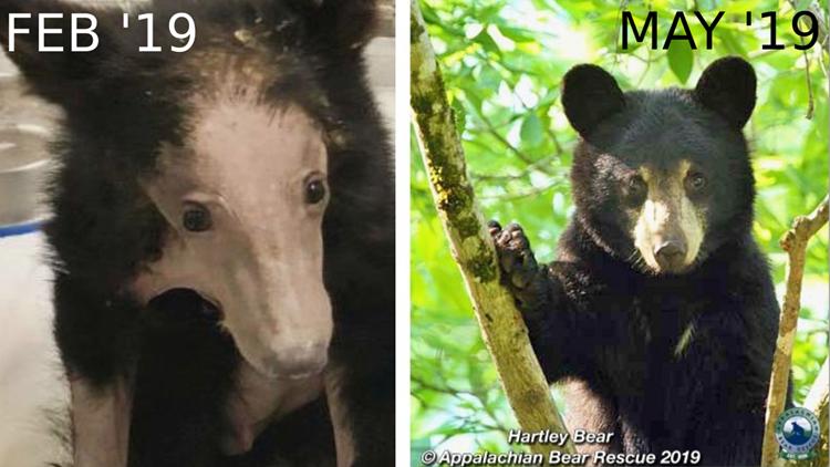Hartley Bear recovery