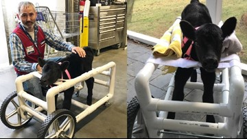 Lowe's employee builds custom wheelchair for injured calf