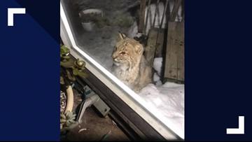 Curious bobcat visits couple's home