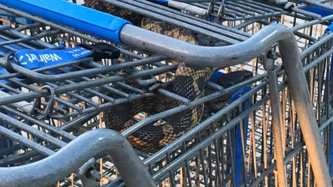 0131fd0e2a3 Northeast Police found a snake at the Cross Roads Walmart over Memorial Day  weekend.