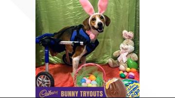 2-legged dog wins contest to become next Cadbury Bunny