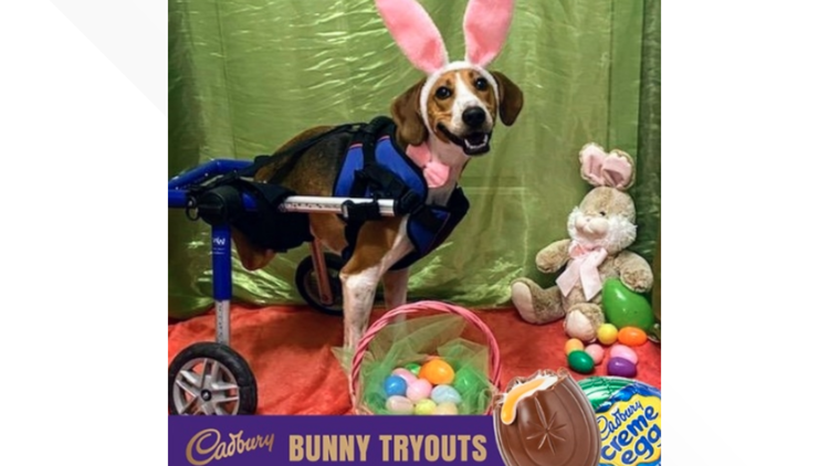 2-legged dog wins contest to become next Cadbury Bunny