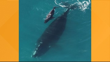 First right whale calf of the season spotted with mother off Georgia coast