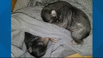 'Puppies' found in box on front lawn of home turn out to be bear cubs