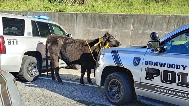 Cops corral cow off I-285 in Dunwoody