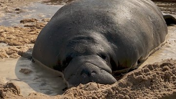 Georgia DNR helps rescue manatee who got stuck in sand