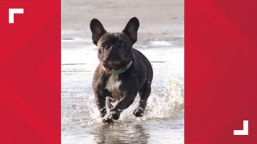 Missing French bulldog with cancer located