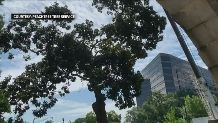 Tree that stood outside Georgia Trust's Rhodes Hall  for 102 years gone