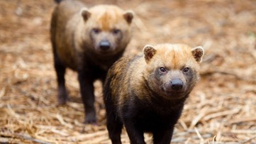 Bush dog at Zoo Atlanta dies