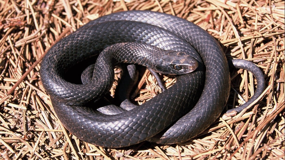 What Should I Do When I See A Snake 11alive Com
