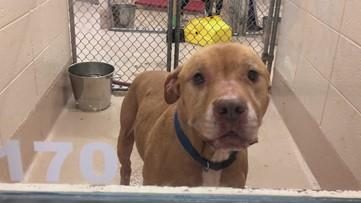Meet Ox and Bertha | Gwinnett County Animal Welfare's pets of the week