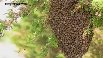 Why there is no need to panic over a swarm of bees?