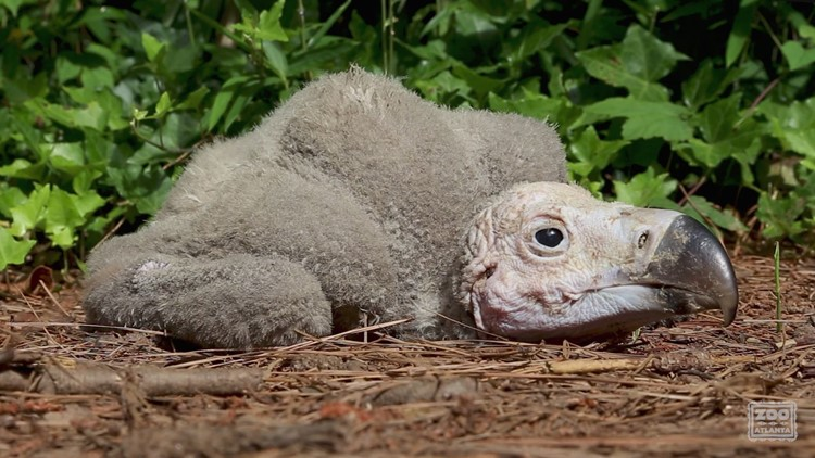 Zoo Atlanta welcomes first ever vulture chick