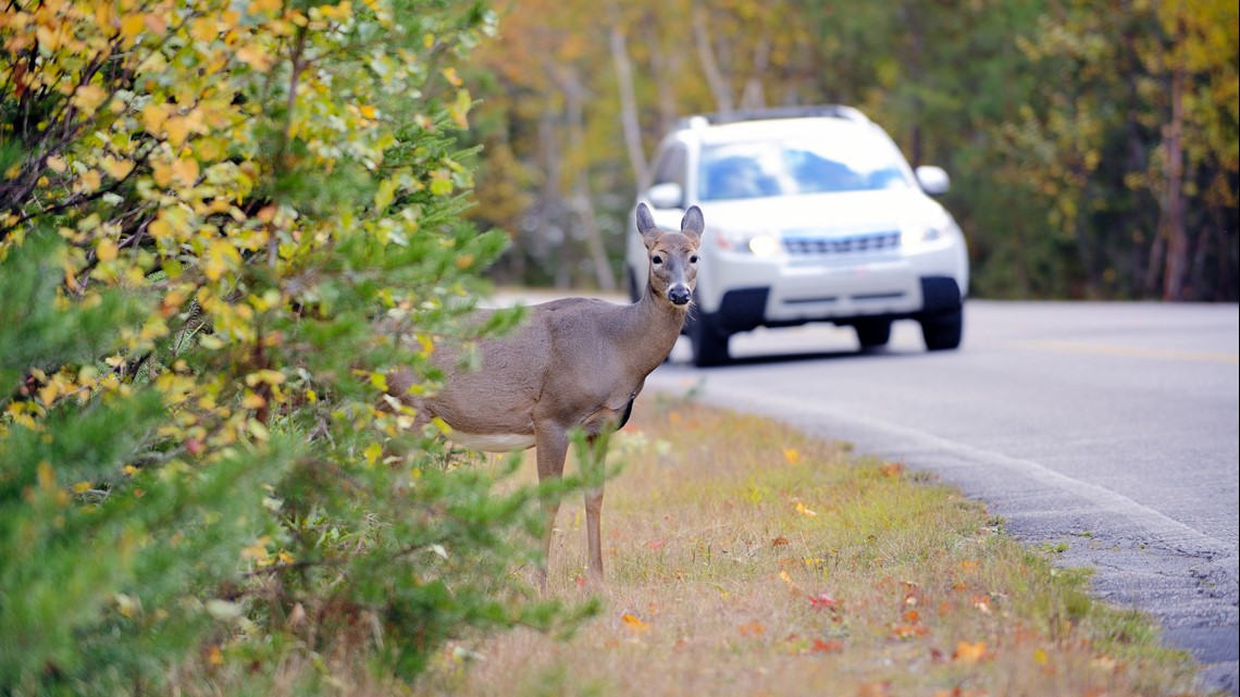 More deer means more problems for drivers