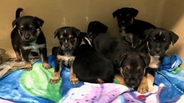 Playful puppies deemed 'dangerous dogs' due to COVID-19 concerns