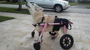Arrest made after dog in wheelchair found dead in stolen car