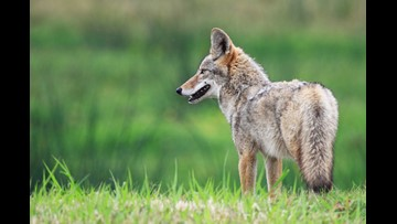 Coyote sightings on the rise in Duluth
