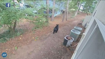 Bear in Johns Creek has been spotted for 'several weeks', police say