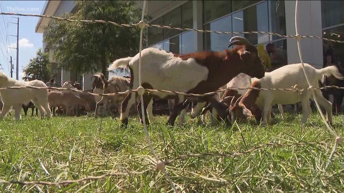 Goats wandering the streets of Buckhead