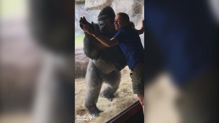 Gorilla See Gorilla Do Bolingo Mimics Its Specialist At Busch