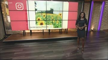Sunflower farm in Cumming opens in July