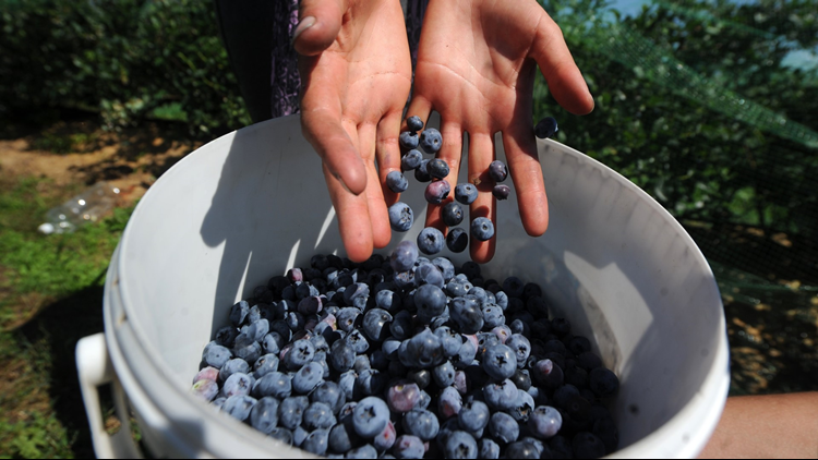 blueberry-farming516a_1526485658292.png