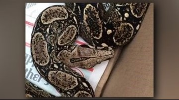 Real-life nightmare: Boa constrictor falls on  man sleeping in bed