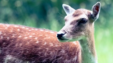 Killer deer terrorizing pets, people in Peachtree City? Wildlife officials have possible explanation