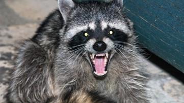 Officials warn of rabid raccoon found in Hall County