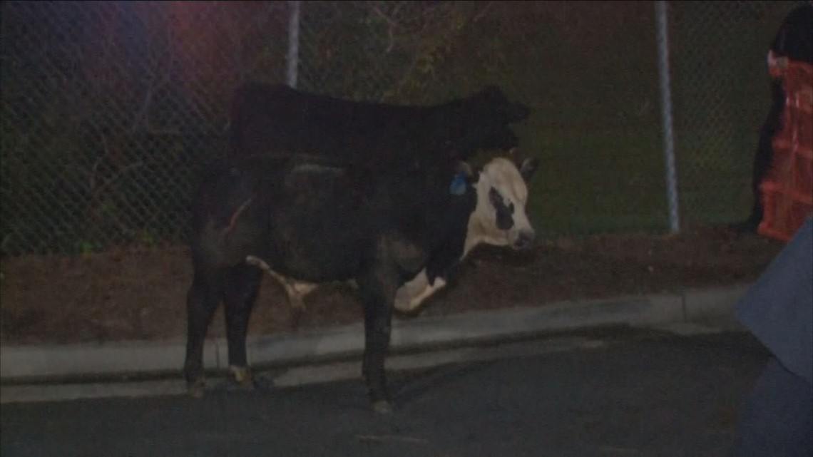 Cows roam the road after livestock tractor-trailer flips on