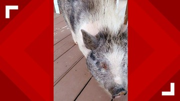 Police asking for help to find missing pig with special needs in Temple, Georgia