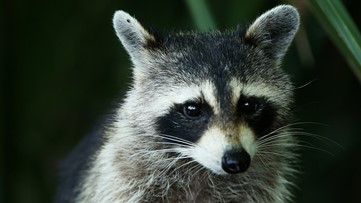 Raccoon tests positive for rabies in DeKalb County