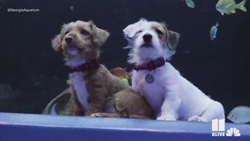 Adorable puppies in foster care explore Georgia Aquarium