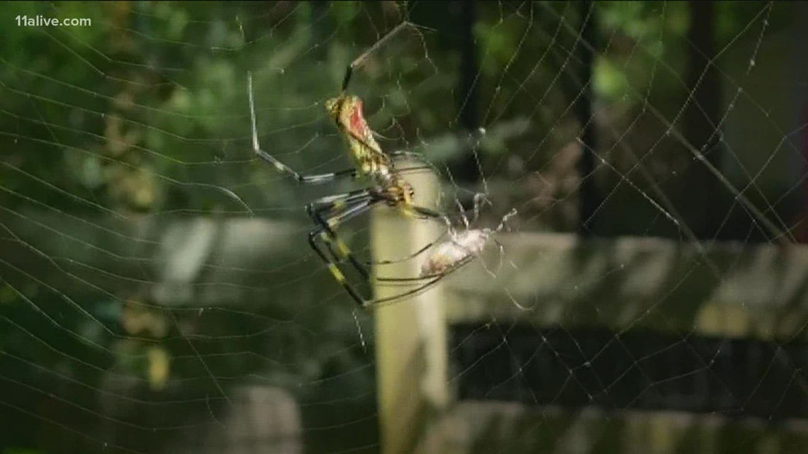 Why are there so many Joro spiders in northeast Georgia?