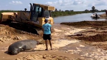 Bulldozer rescues manatee stuck in Georgia sand at low tide