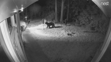 'Buckhead Bear' spotted on home surveillance video digging into bird feeder