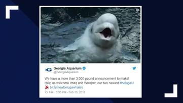 Georgia Aquarium welcomes two new beluga whales