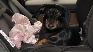 Milo the mini Dachshund found safe!